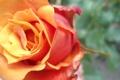 Картинка макро, цветы, Роза, оранжевая