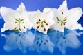 Картинка отражение, лилии, лепестки