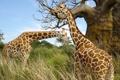 Картинка трава, пара, жирафы, африка