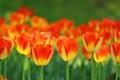 Картинка весна, лепестки, сад, стебель, луг, тюльпаны