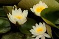 Картинка цветы, белые, оранжевые, водоем, кувшинки, лисьтя
