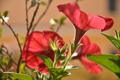 Картинка природа, растение, лепестки, сад, луг, петутия