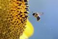 Картинка цветок, небо, пчела, пыльца
