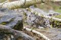 Картинка кошка, взгляд, дерево, камень, ветка, ирбис, снежный барс