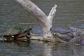 Картинка вода, встреча, черепаха, крокодил, бревно
