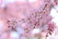 Картинка вишня, ветка, весна, сакура