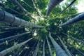 Картинка лес, деревья, бамбук
