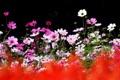 Картинка лето, цветы, природа, фокус, космея