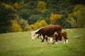 Картинка корова, пастбище, телёнок