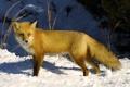 Картинка взгляд, снег, солнечный свет, или рыжая лисица (Vulpes vulpes), Обыкновенная