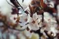 Картинка весна, вишня, цветение, лепестки, размытость, листья, белые