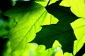 Картинка макро, клен, leaves, leaf
