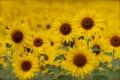 Картинка поле, лето, подсолнухи, желтые