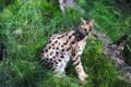 Картинка кошка, трава, бревно, сервал