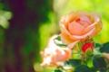 Картинка цветок, макро, обои, роза, бутон, зелёный, нежная