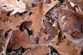 Картинка листва, сухая, дубовая