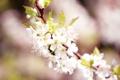 Картинка макро, цветы, природа, вишня, розовый, ветка, весна