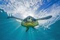 Картинка море, природа, turtle