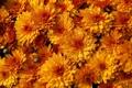 Картинка хризантемы, капли, макро