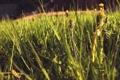 Картинка солнце, макро, закат, цветы, настроения, травка