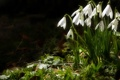 Картинка Snow Drops, light, evening