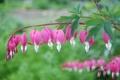 Картинка розовый, дицентра, цветы, фото, нежность