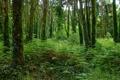 Картинка лес, плющ, деревья, папортник