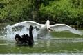 Картинка Прочь с дороги!, лебеди, крылья, птицы, разбег
