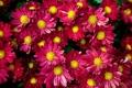 Картинка цветы, фон, красные