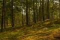 Картинка лес, деревья, склон, сосны