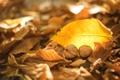 Картинка осень, листья, желтые, сухие, орехи, грецкие