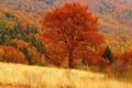 Картинка лес, осень, поле, рыжая, дерево
