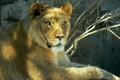 Картинка взгляд, лев, львица, зоопарк