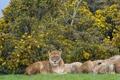 Картинка кошки, львы, львица, кусты, ©Tambako The Jaguar