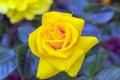 Картинка роза, ветка, бутон, желтая