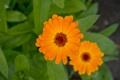 Картинка лето, макро, цветы, оранжевый, оранж