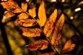 Картинка осень, листья, макро, природа, жёлтый, дерево, листва