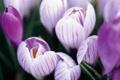 Картинка макро, цветы, фиолетовые, крокусы, сиреневые