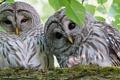 Картинка литья, фото, природа, веточки, совы, взгляд