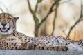 Картинка кошка, отдых, гепард, клыки, ©Tambako The Jaguar