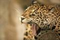 Картинка язык, морда, пасть, клыки, ягуар, дикая кошка