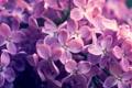 Картинка цветы, сиреневый, сирень