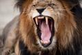 Картинка fury, head, lion, teeth