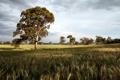 Картинка пейзаж, поле, колосья, дерево