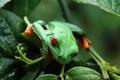 Картинка глаза, листья, лягушка, красные, зеленая