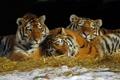 Картинка отдых, сено, тигры, трио, тигрята