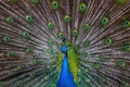 Картинка птица, узоры, перья, хвост, павлин