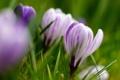 Картинка макро, фокус, весна, размытость, крокусы