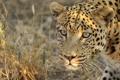 Картинка взгляд, морда, леопард