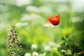 Картинка цветок, трава, лето, мак, зелень, зеленый, цветы